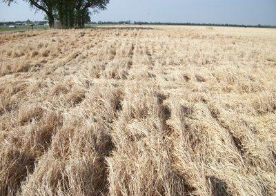 Terminated Rye
