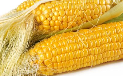 Conventional Corn