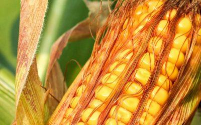 DroughtGard® Hybrids w/ VT Double PRO® RIB Complete® Corn Blend