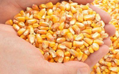Agrisure GT Corn