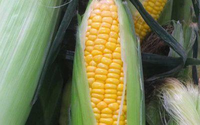 SmartStax® RIB Complete® Corn Blend