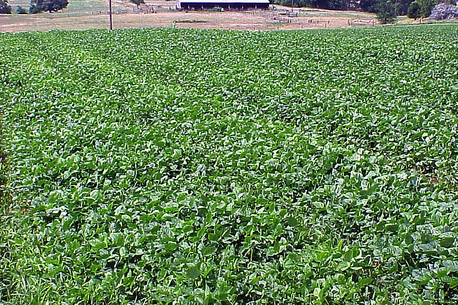 Field of cowpeas
