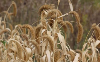 German (Foxtail) Millet