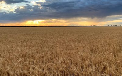 AgriPro Wheat