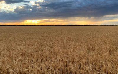 AgriPro Wheat